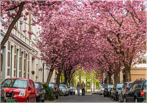 Cherry Blossom Tunnel, Bonn, Germany